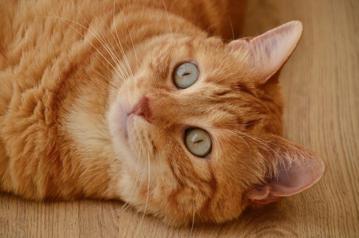 gatto-arancione