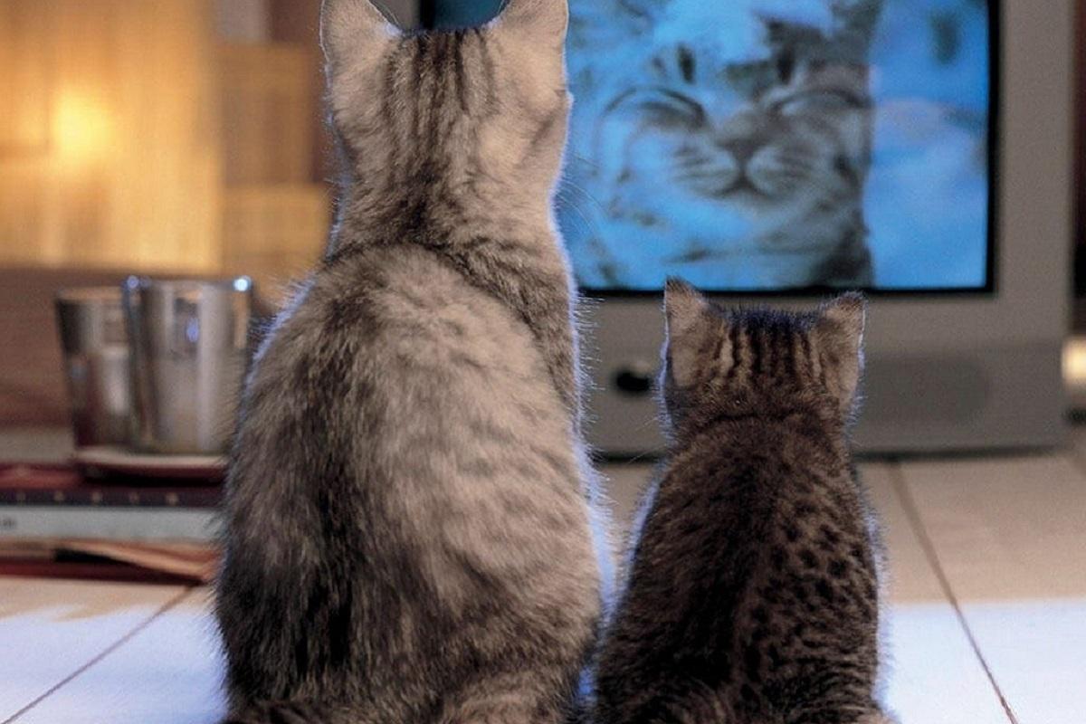 gatti incuriositi dalla tv