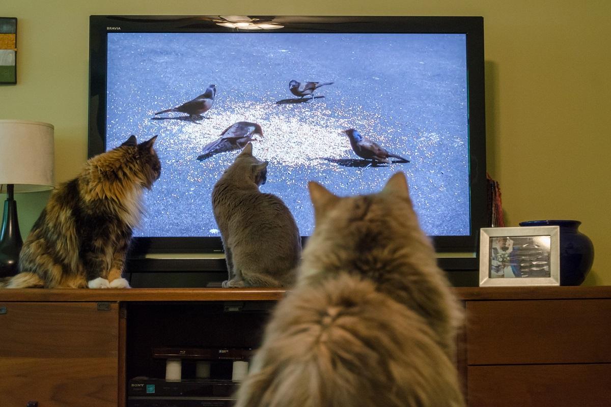 gatti intenti a guardare la tv
