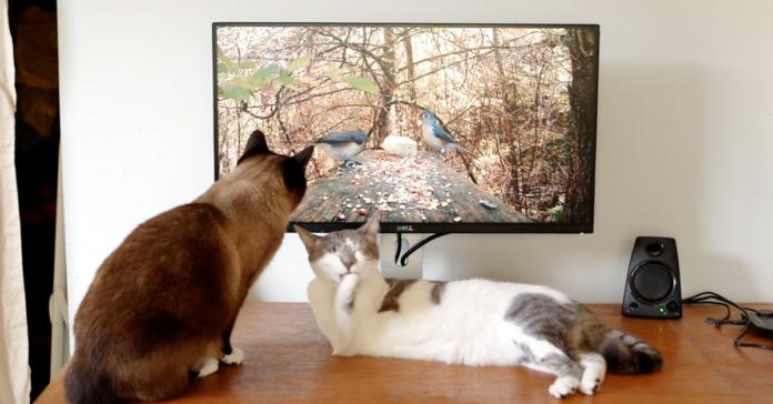 gatti davanti alla tv