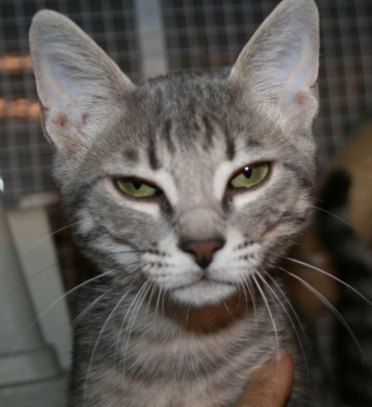 gatti-con-occhi-verdi
