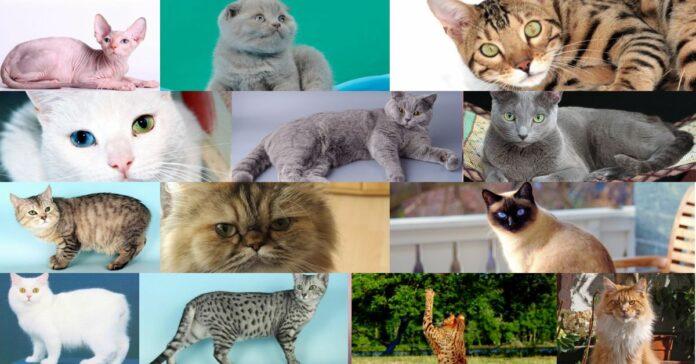 gatti-più-costosi-del-mondo