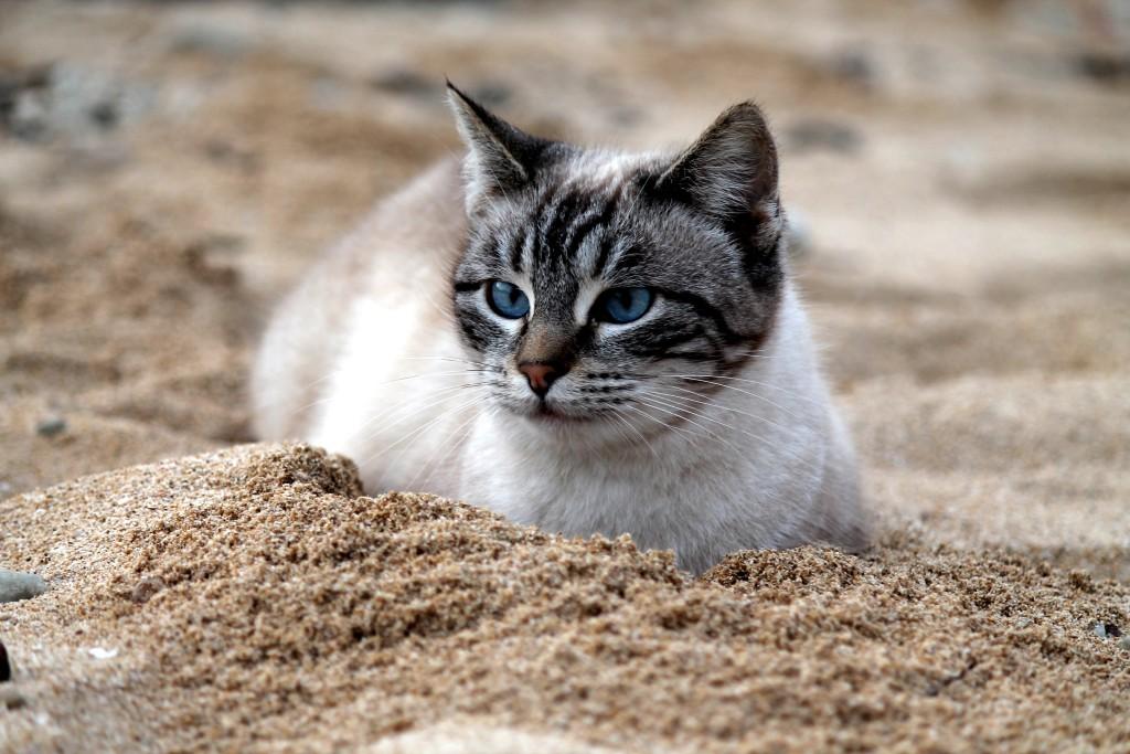 gatto-occhi-blu-sulla-spiaggia