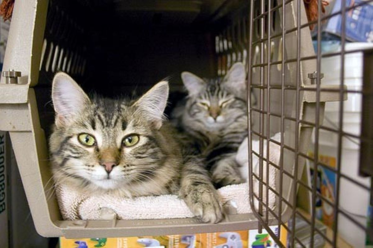 gatti-nel-trasportino