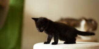 gattino nero su puff bianco
