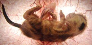 gattino-all'interno-dell'-utero