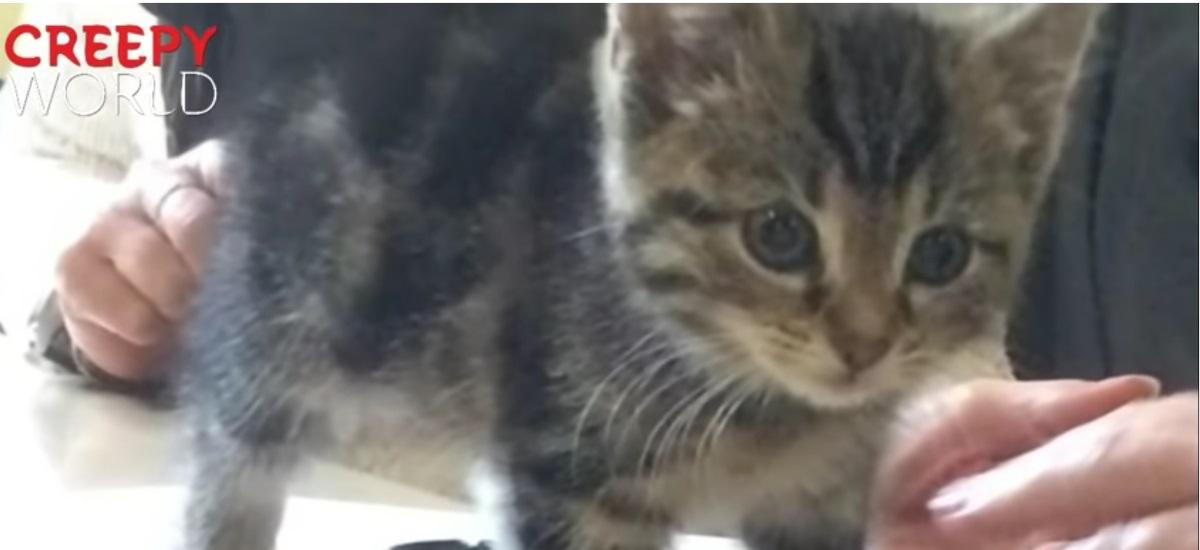 gattino-grigio-curioso