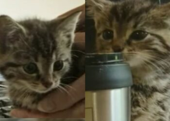 gattino-grigio
