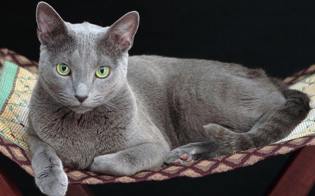 gatto-blu-di-russia-dentro-a-cesta