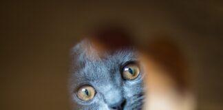 gatto certosino dolce
