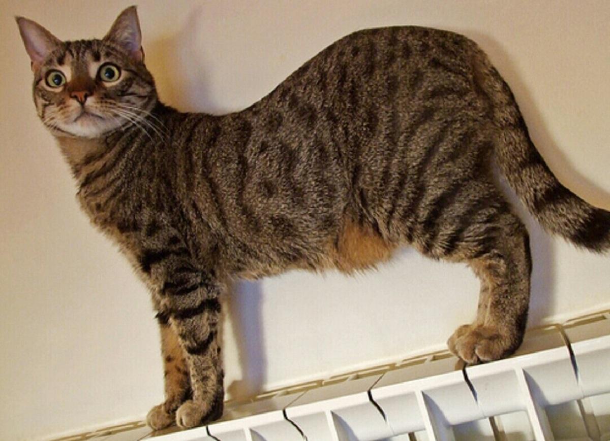 gatto con pancia gonfia su termosifone