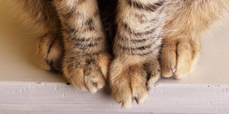 primo piano zampe di gatto