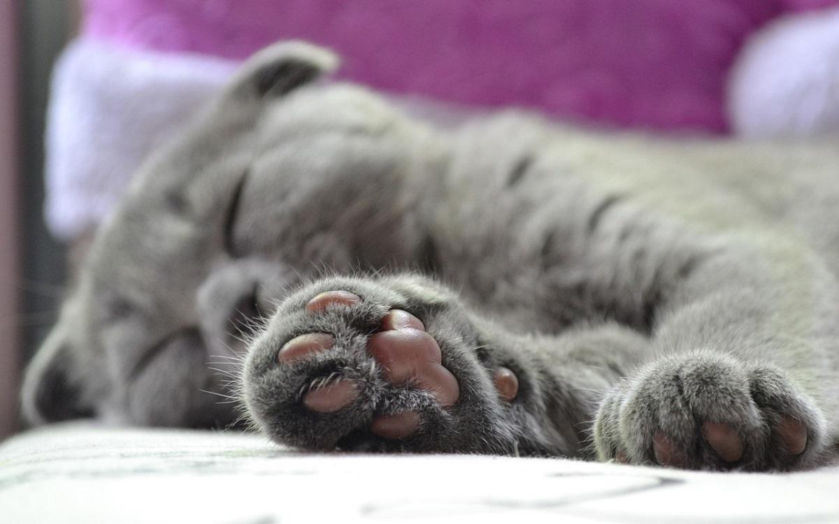 gatto che dorme con zampa in primo piano
