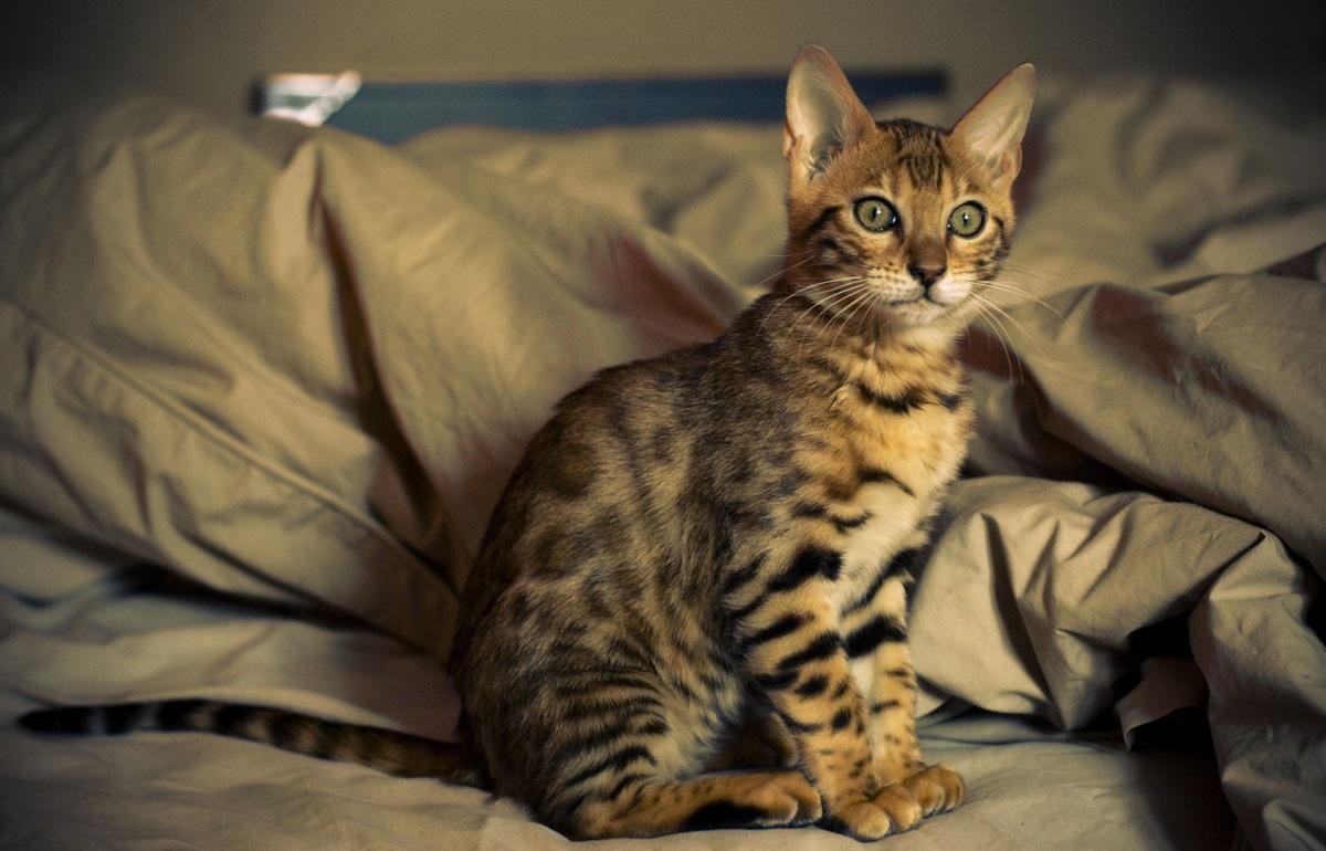 gatto del bengala seduto su letto