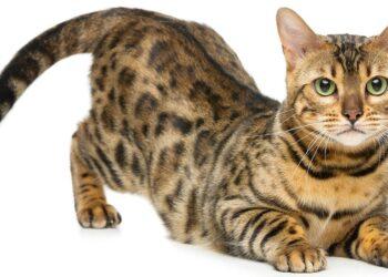Gatto Persiano Curare Il Pelo Il Mio Gatto è Leggenda