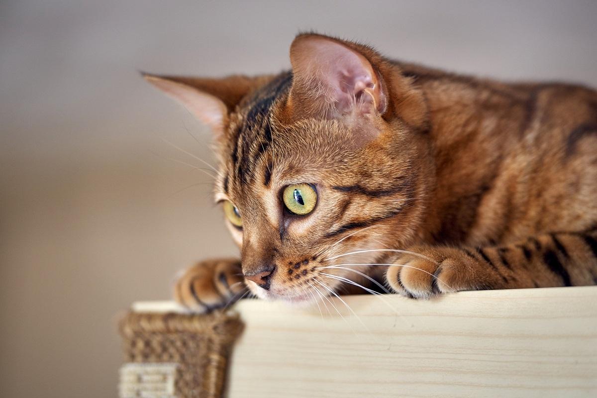 gatto del bengala su armadio