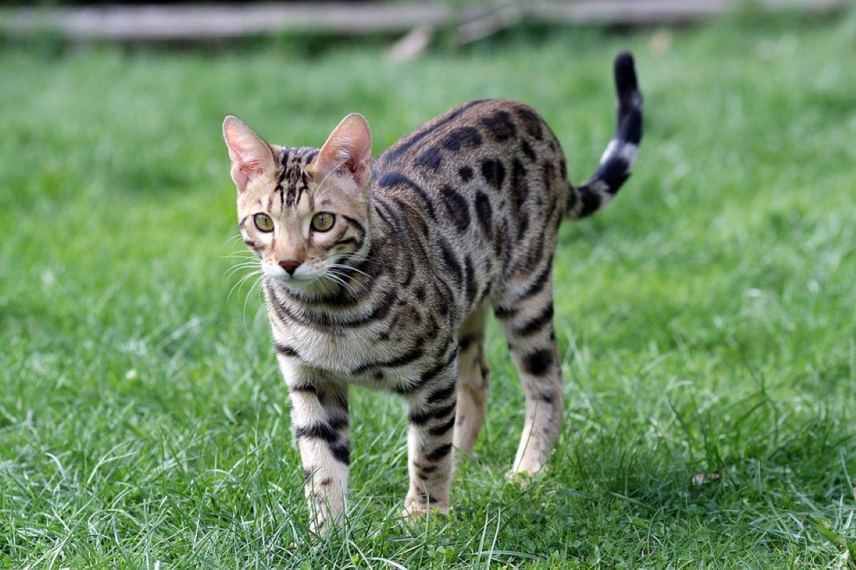gatto-del-bengala-su-prato