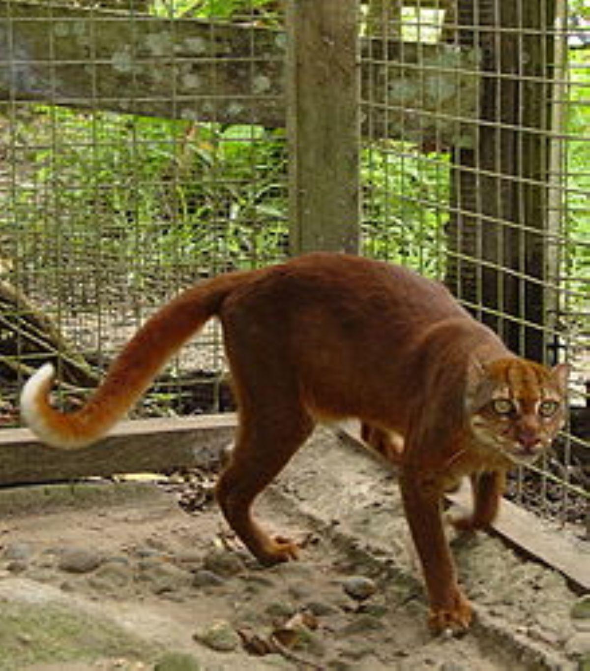gatto-del-borneo-in-gabbia