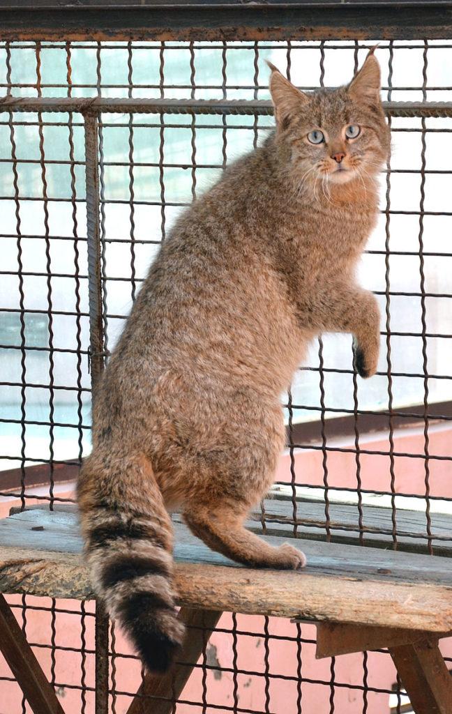 gatto di biet felis bieti