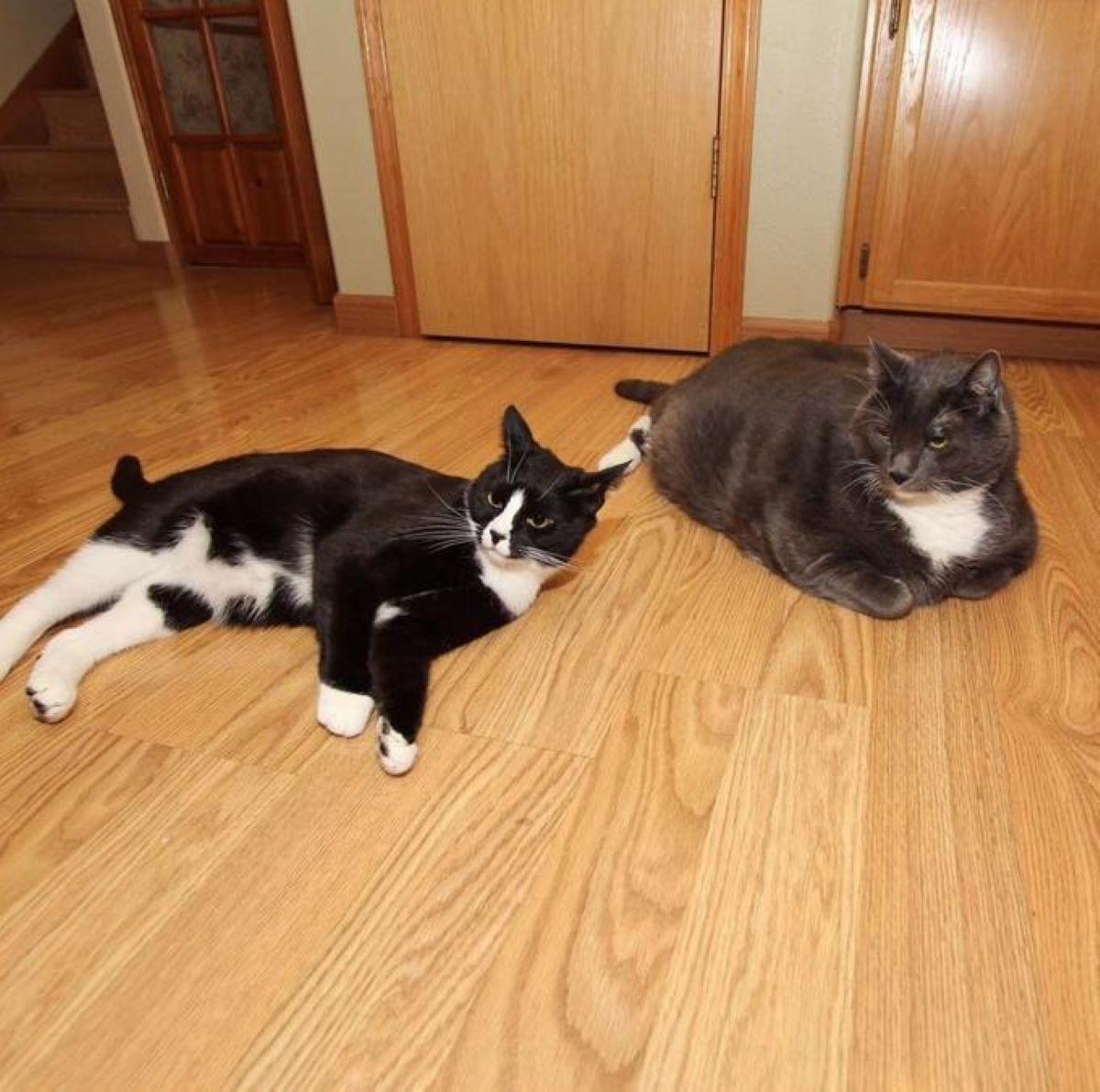 due-gatti