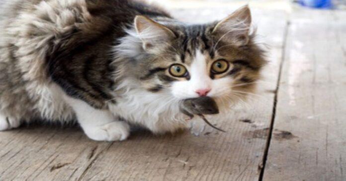 gatto-e-i-motivi-per-cui-ci-portano-le-loro-prede