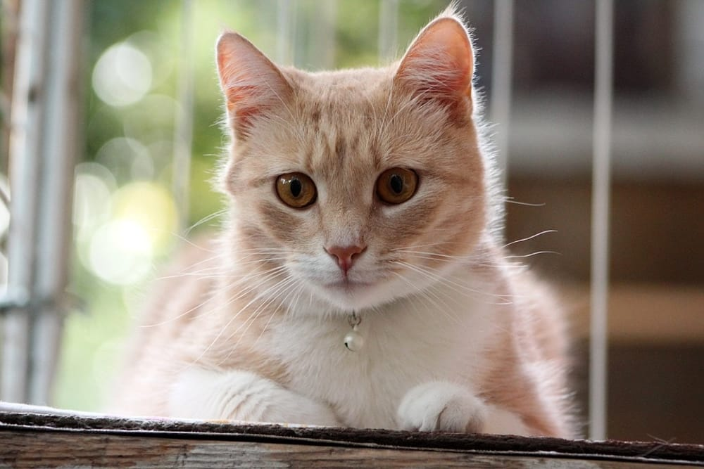 gatto ascolta