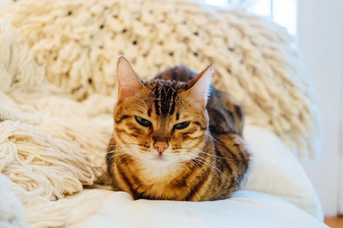 gatto si riposa su divano