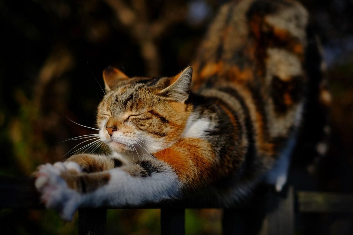 gatto stira i muscoli