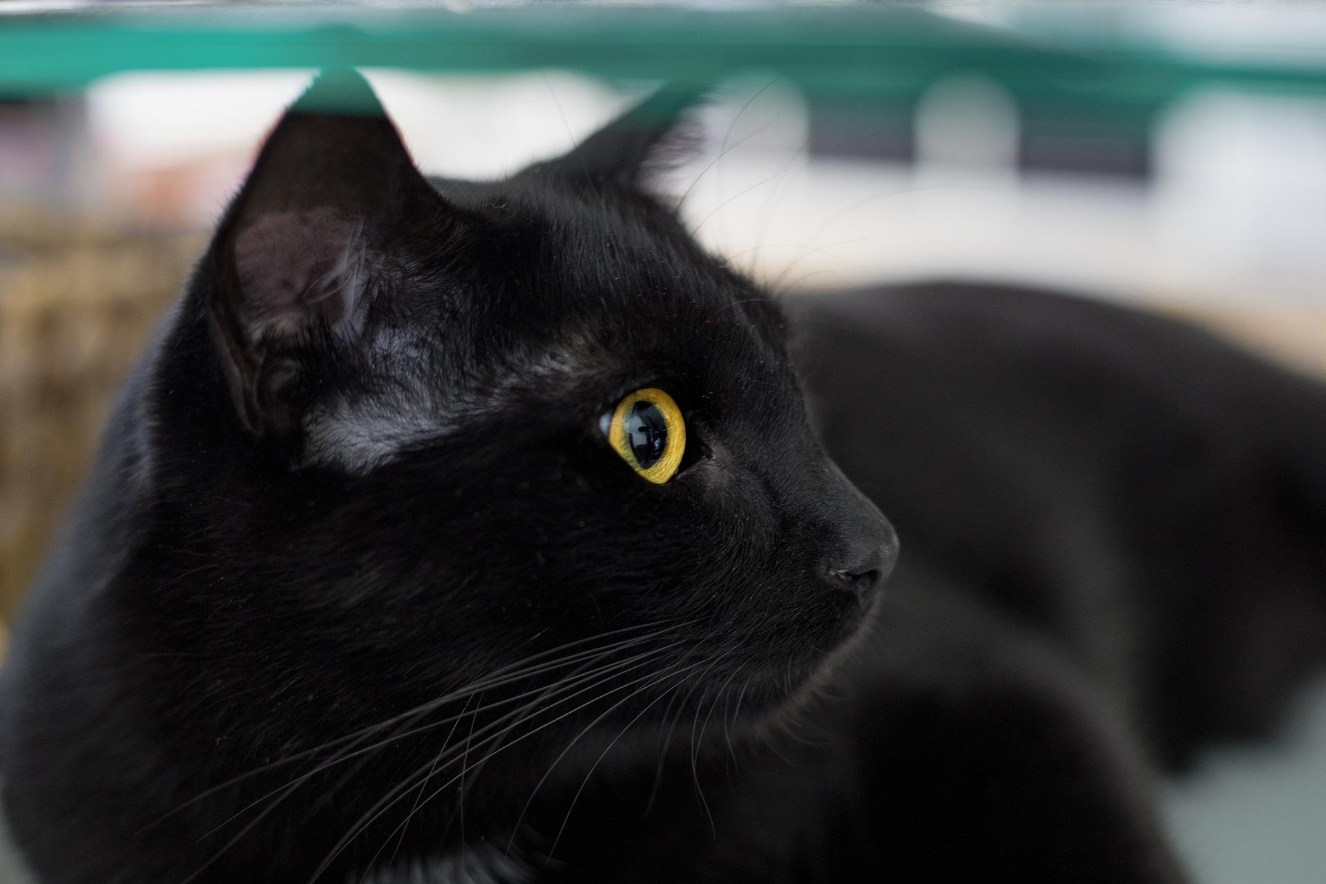 gatto-nero-fiero
