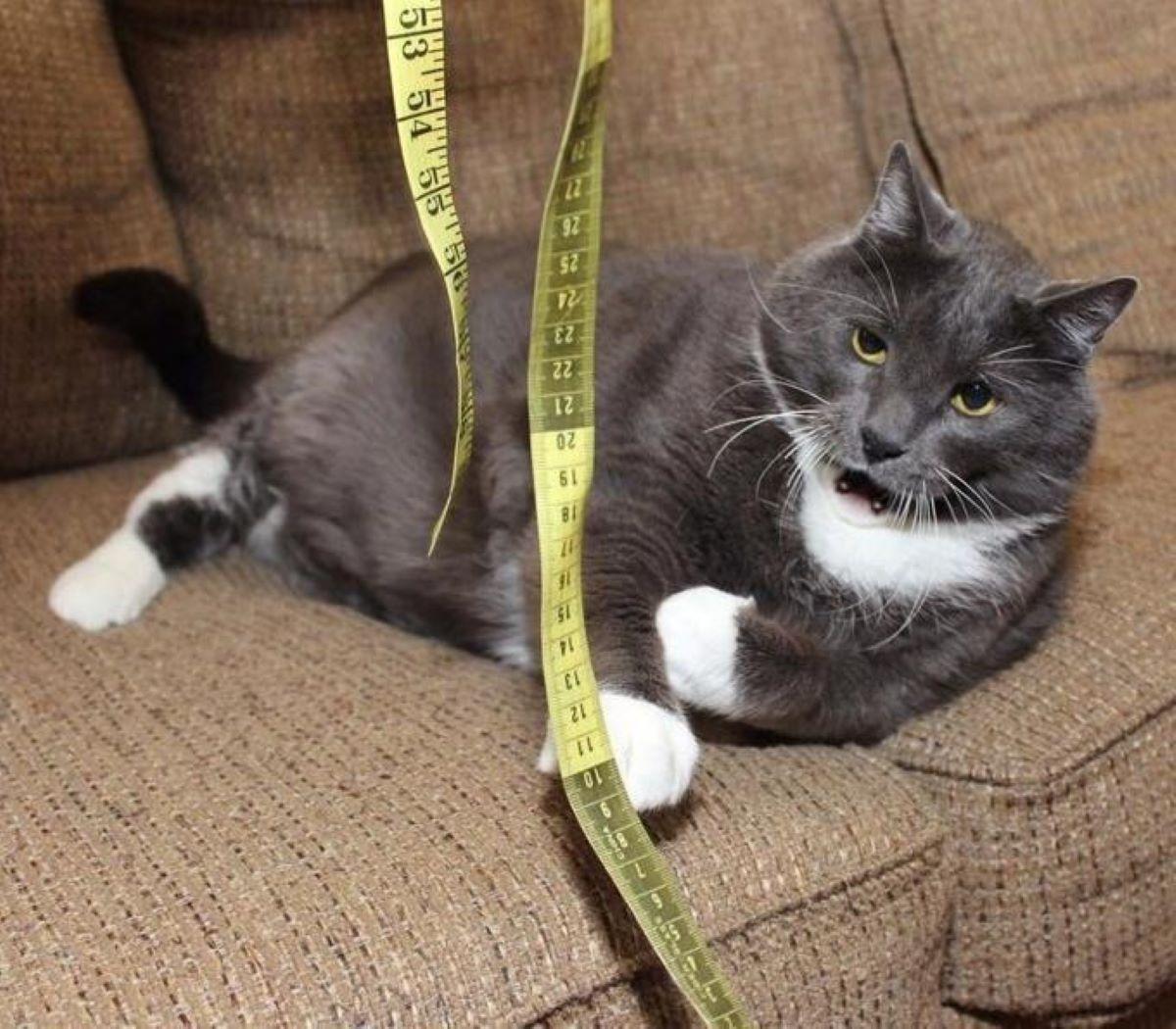 gatto-con-il-centimetro