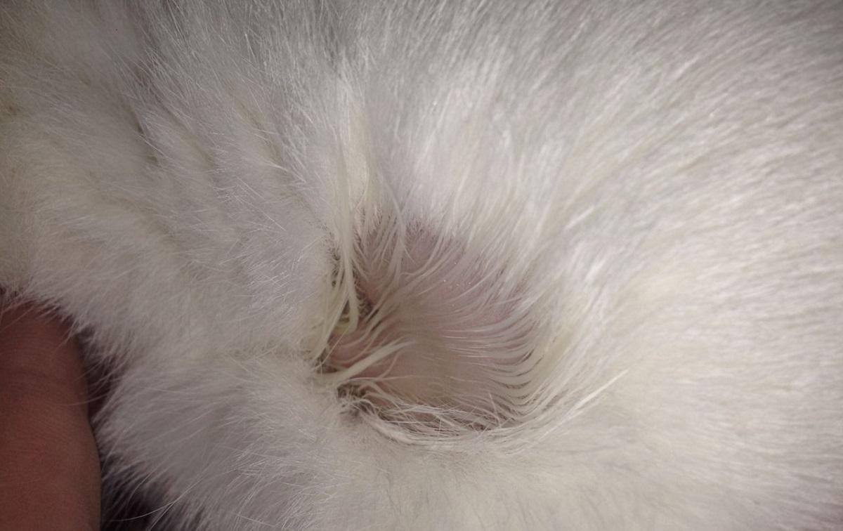 caso di alopecia in un gatto