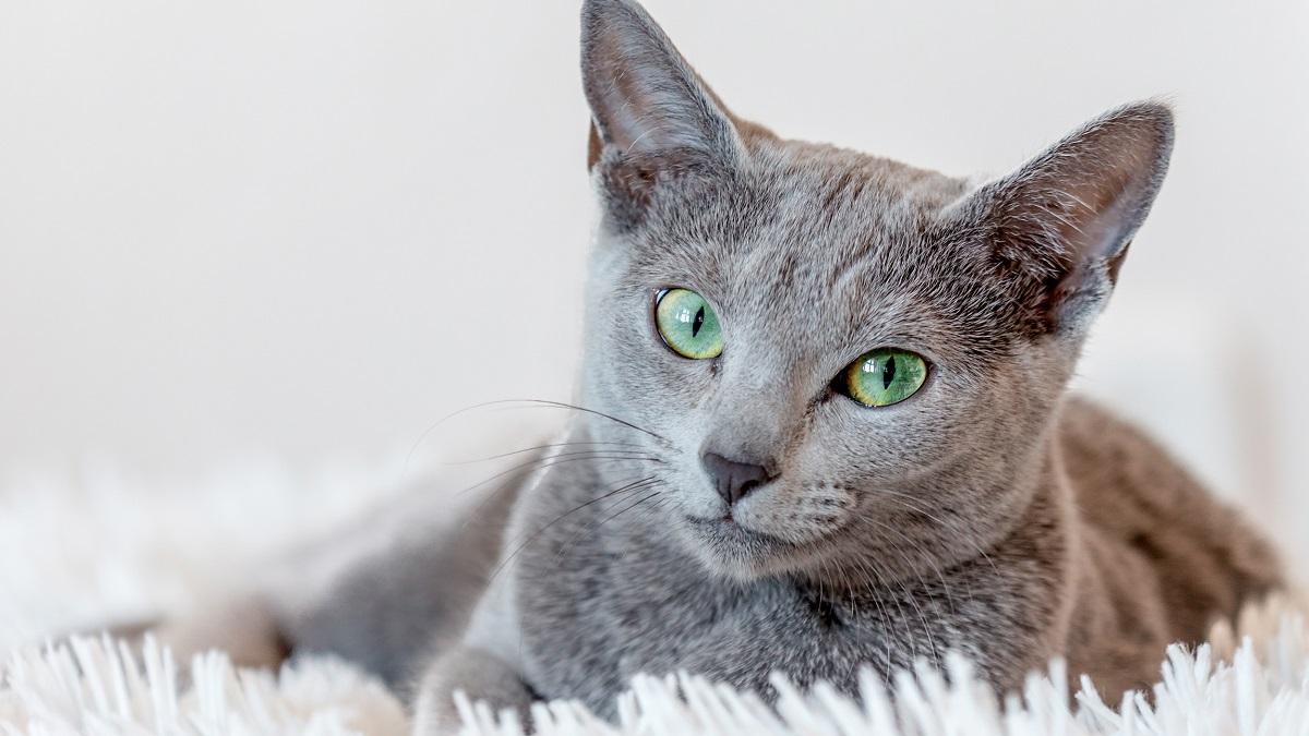 gatto grigio su tappeto