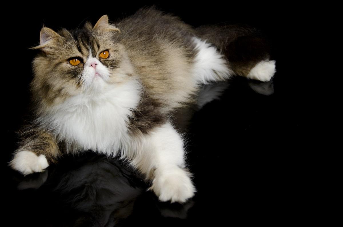 gatto persiano su sfondo nero