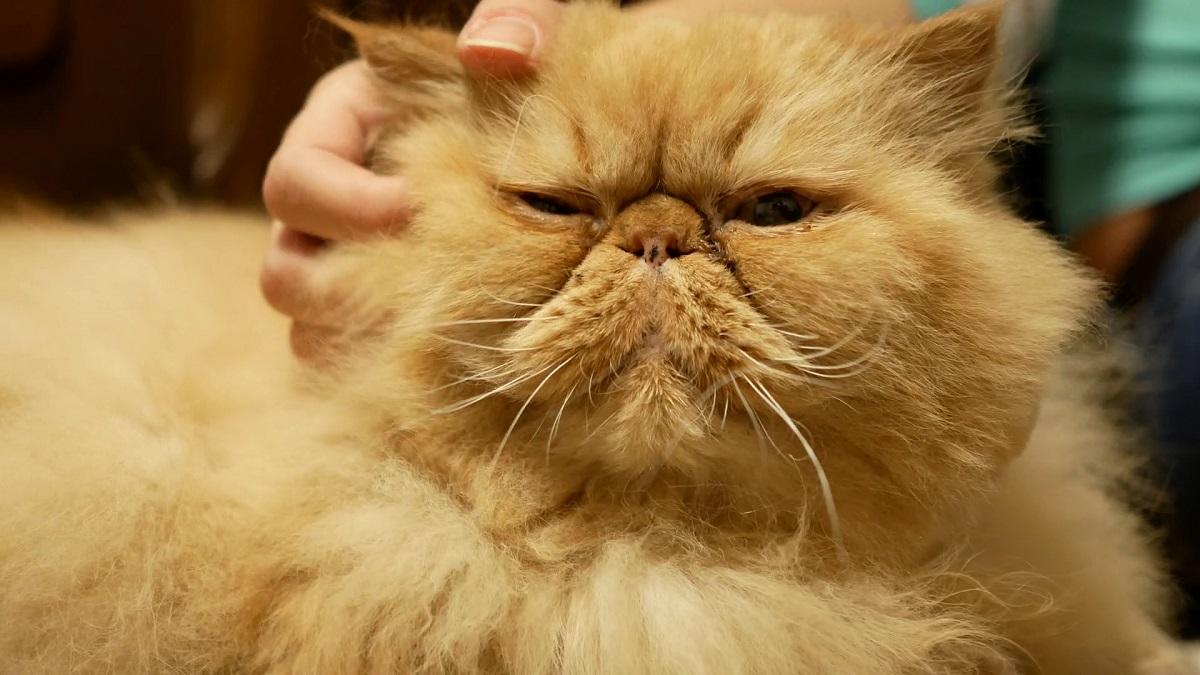 gatto persiano accarezzato sulla testa
