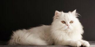 gatto persiano bianco
