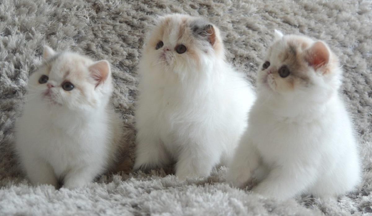 3 cuccioli di persiano