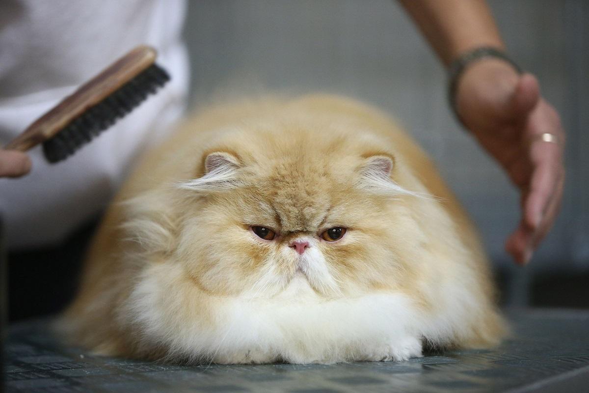 gatto persiano viene spazzolato