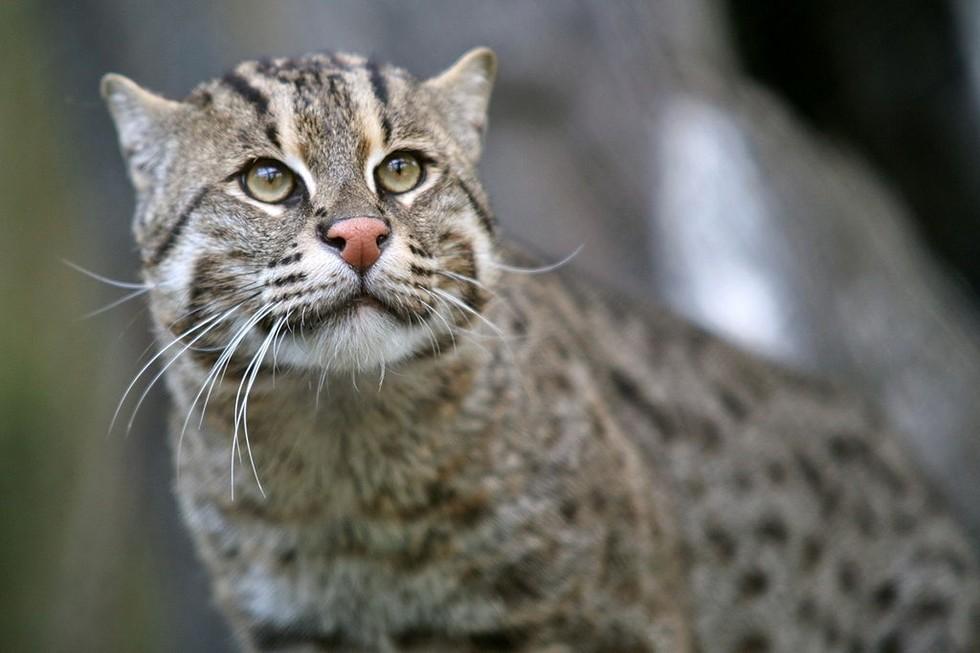gatto-pescatore-che-osserva