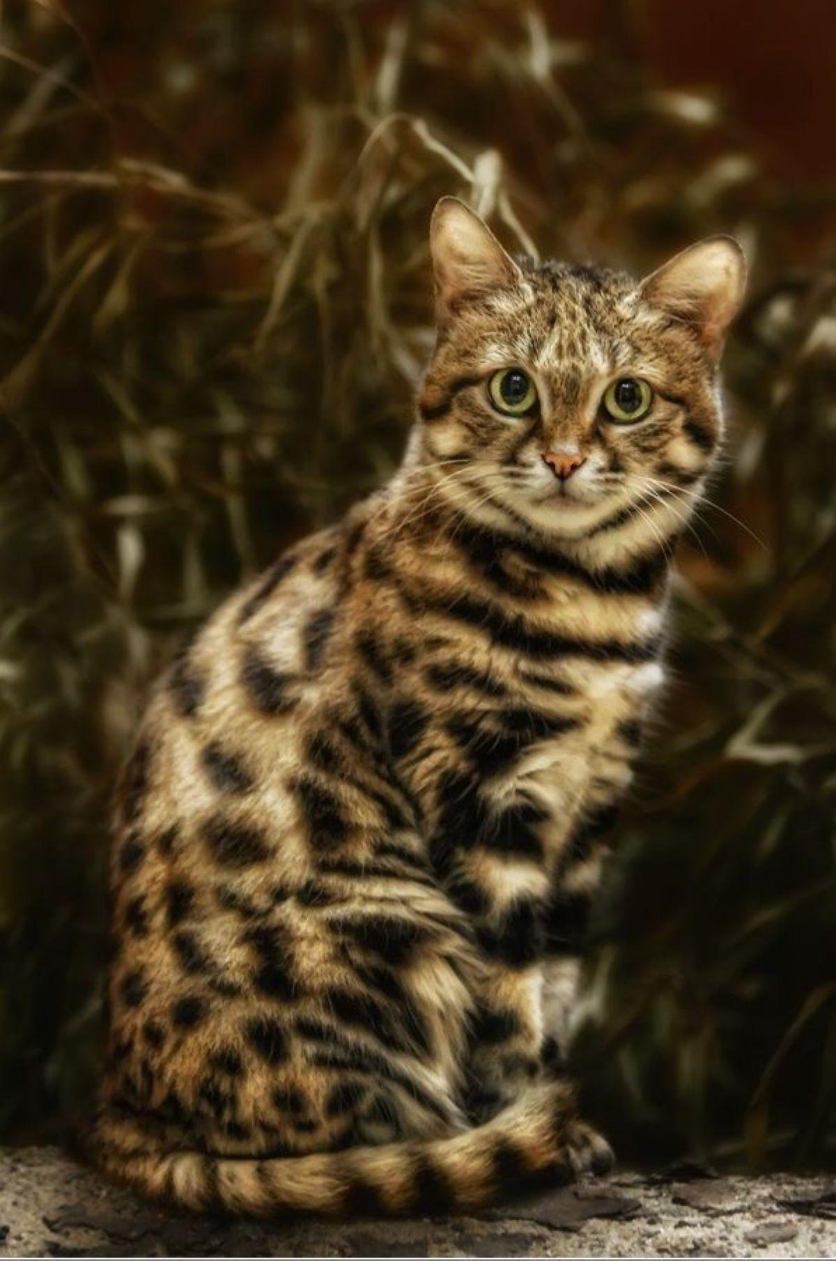 gatto-piedi-neri-in-posa