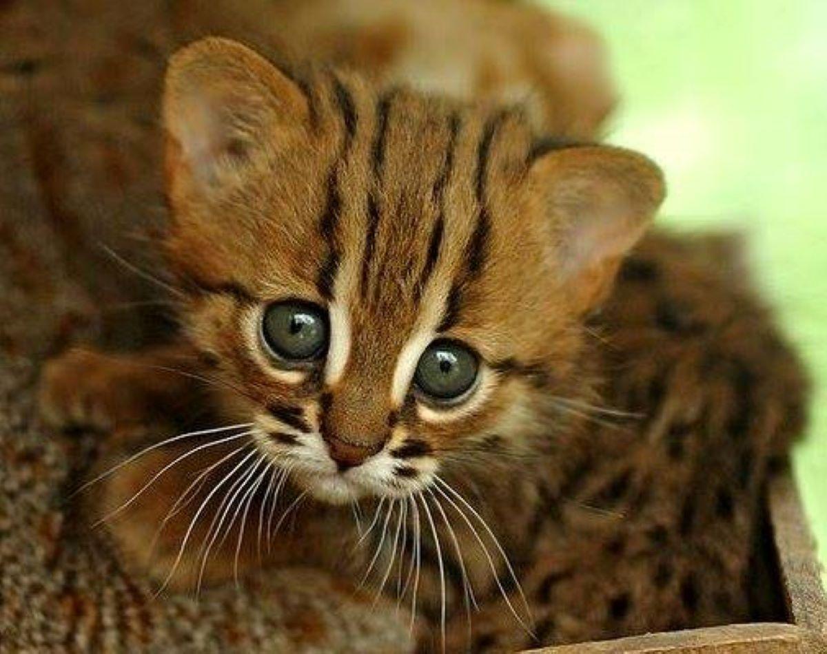 gattino-rugginoso-che-scruta