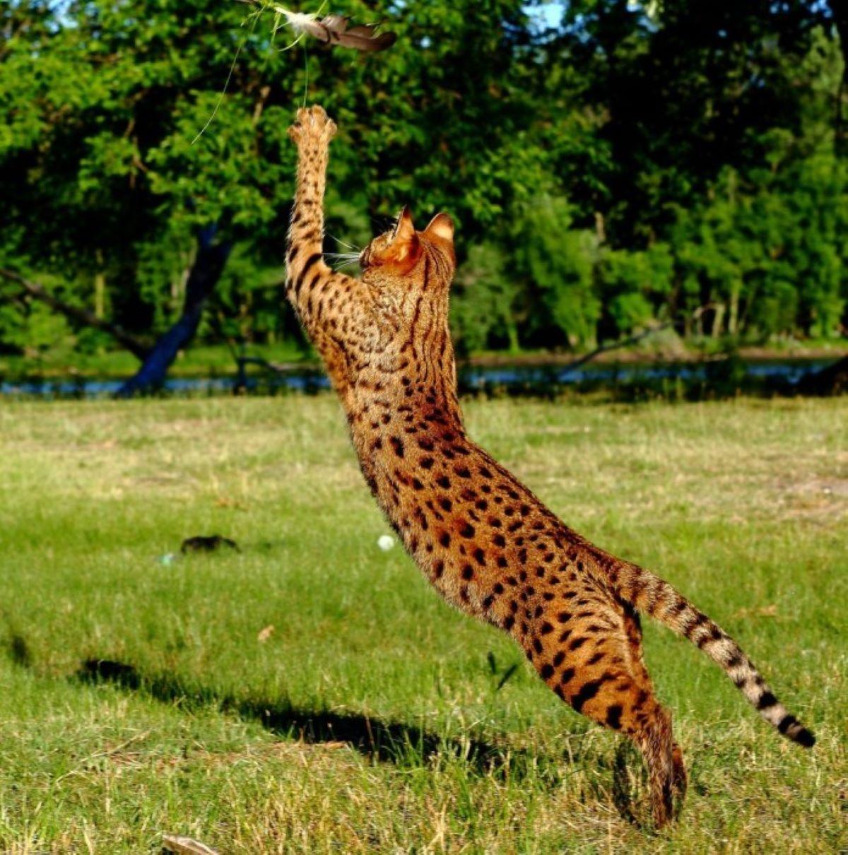 gatto-savannah-che-prende-preda