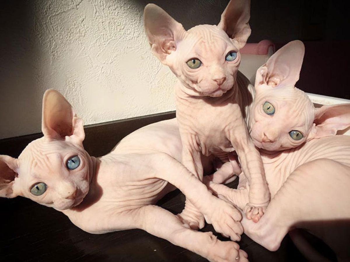 gatti-senza-pelo-accoccolati