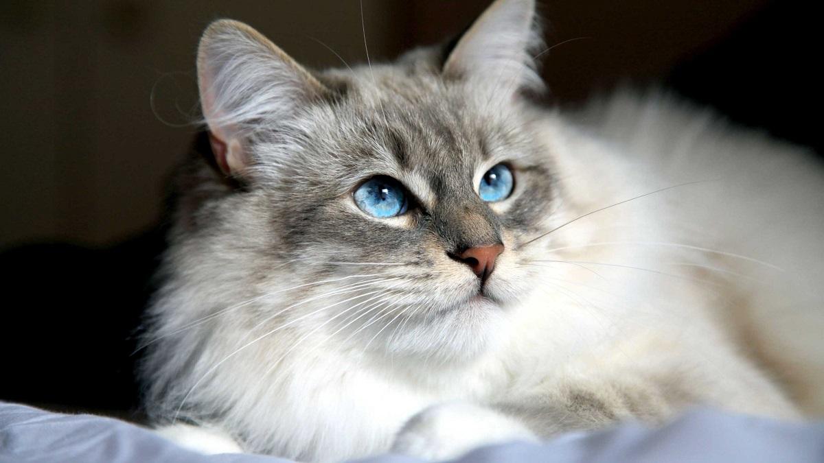 gatto siberiano occhi blu
