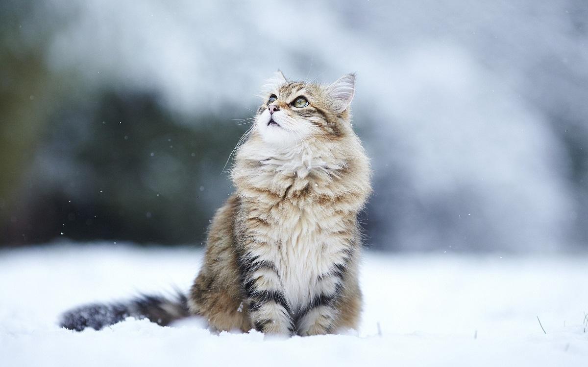 gatto siberiano sulla neve