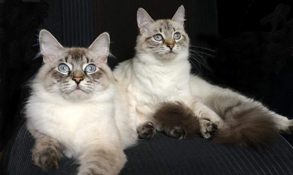 due gatti siberiani