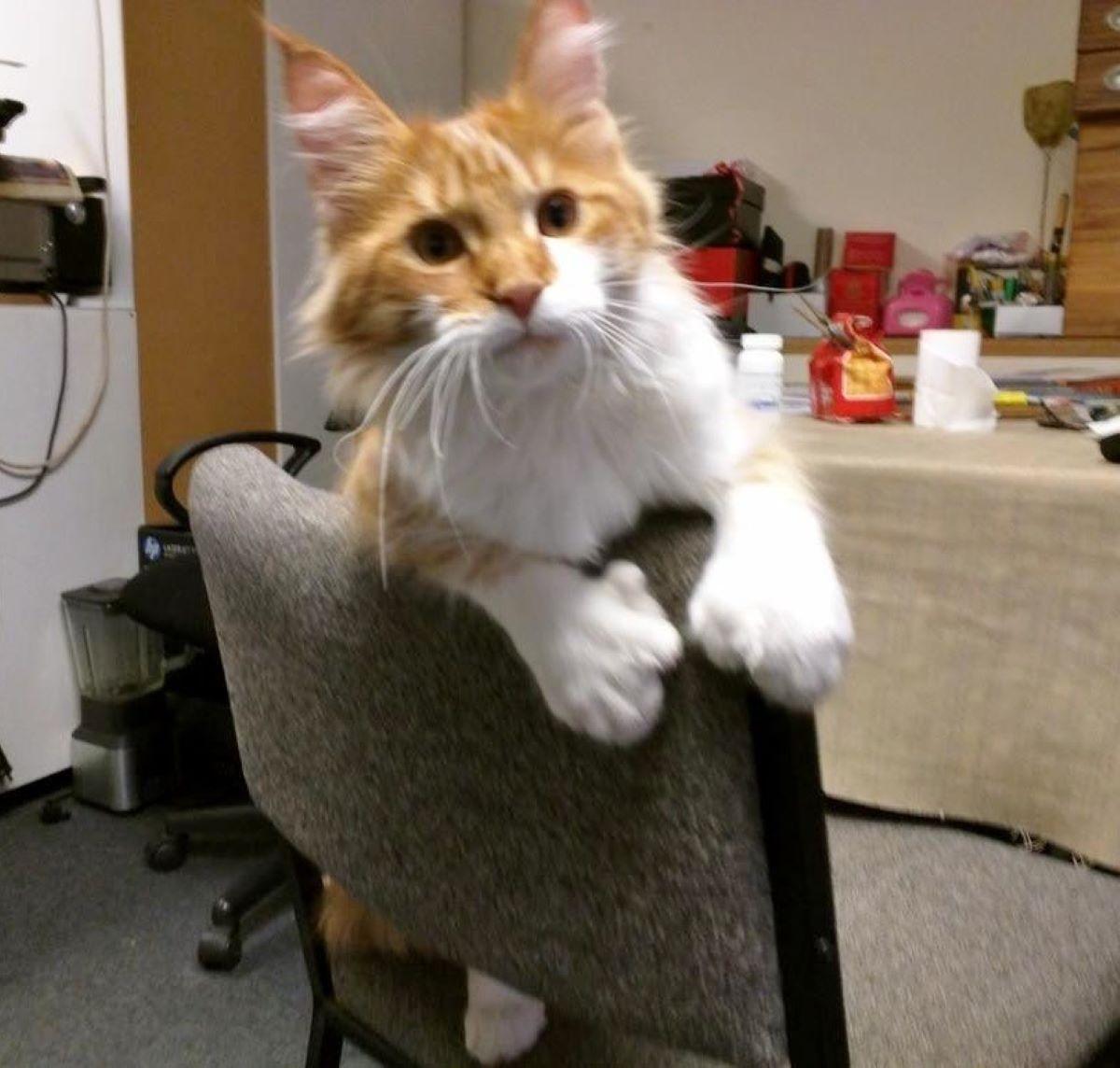 gatto-su-sedia-con-dita-in-più