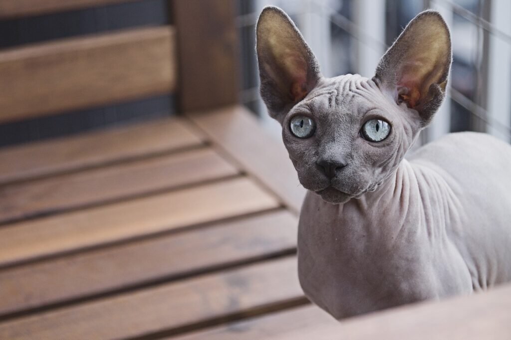 gatto canadian sphynx