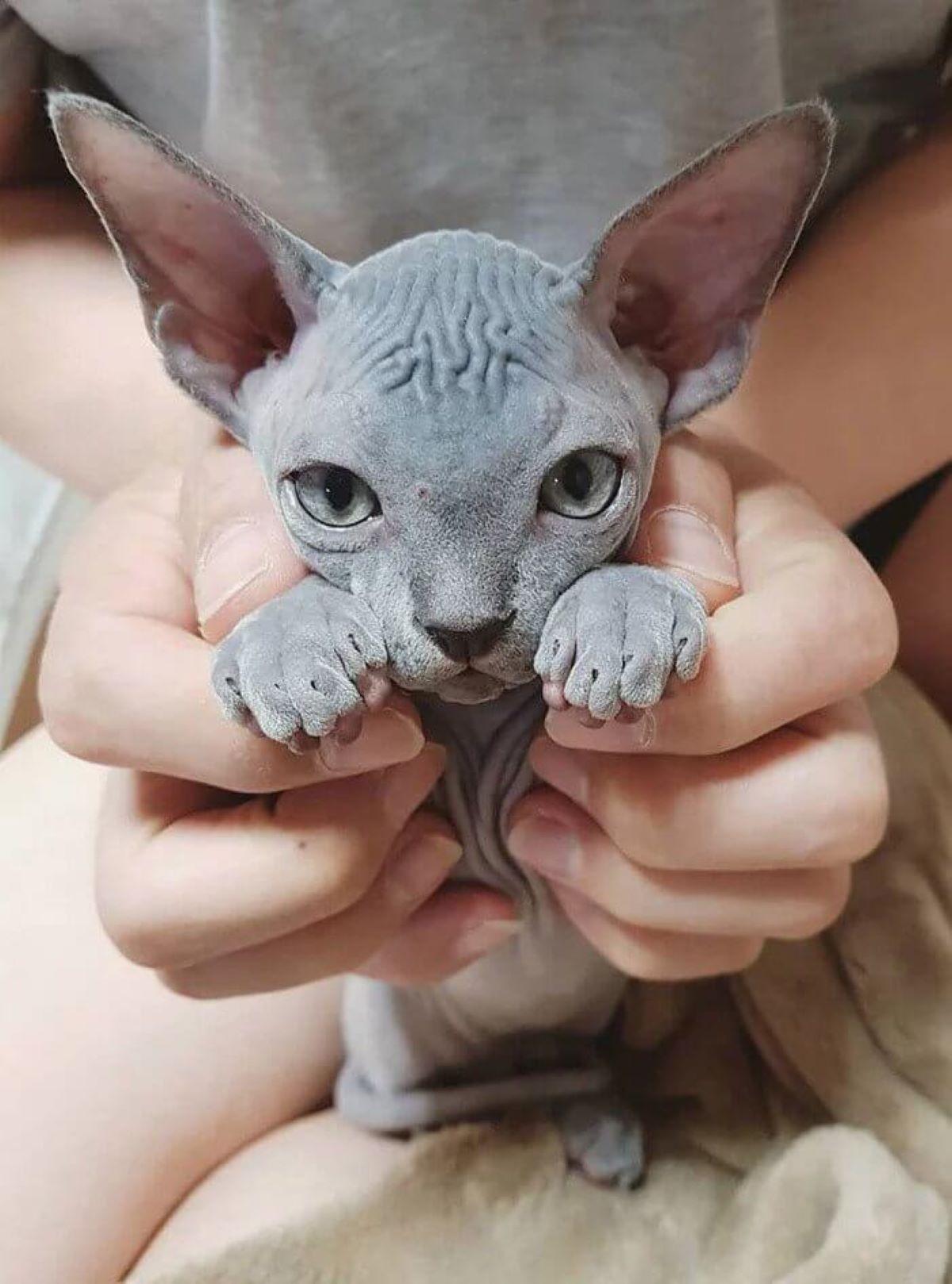 cucciolo-di-gatto-tra-le-mani