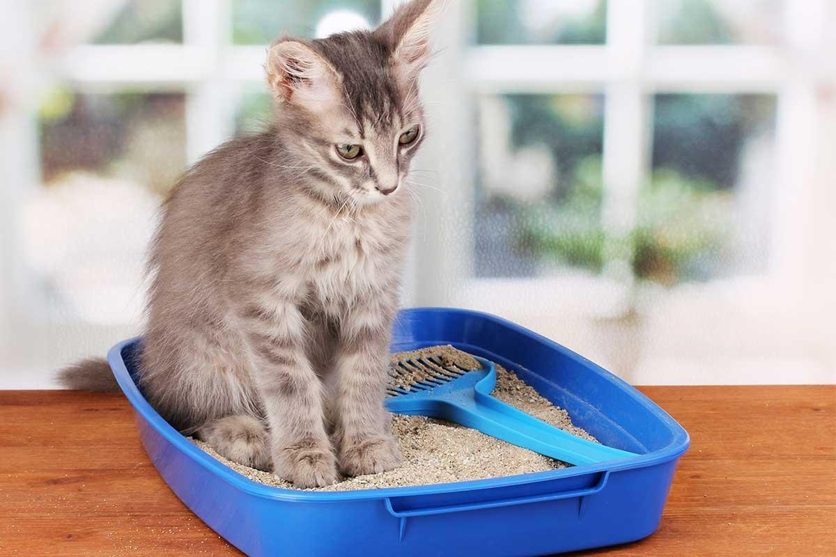 gatto dentro piccola lettiera