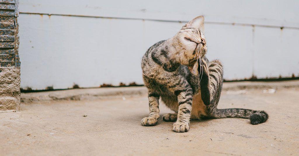 gatto si gratta l'orecchio